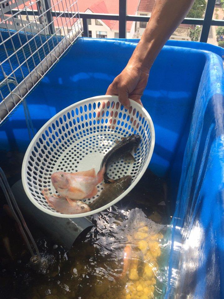 Nuôi cá tại nhà bằng thùng nhựa